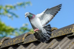 Racing pigeon comes home and prepares for landing