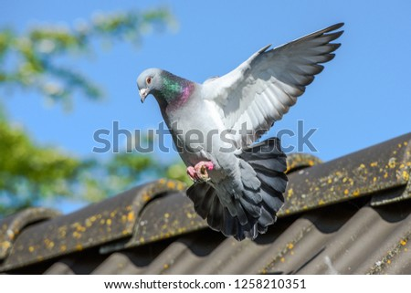 Racing pigeon comes home and prepares for landing #1258210351