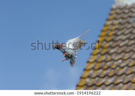 Racing pigeon prepares for landing near a roof with his wings spread wide, and a clear blue sky as a background Photo stock ©