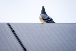 Racing pigeon resting on a solar panel at the roof of a house
