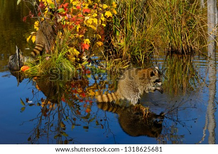 Racoon dousing and eating food in a still pond reflecting blue sky and Fall colors