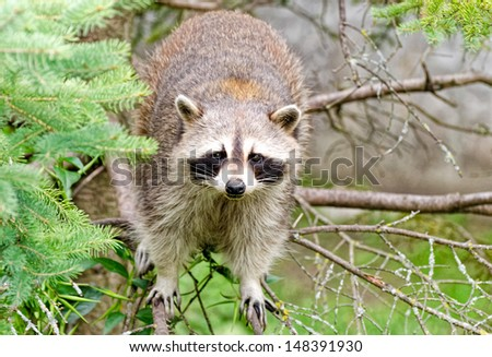 Racoon on a tree