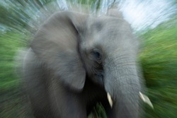 Radial Zoom image taken of an African Elephant on a safari in South Africa