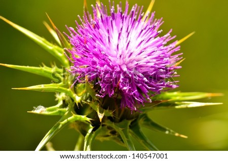 Radiant silybum marianum in all its splendor at the beginning of spring on a unfocused natural green background