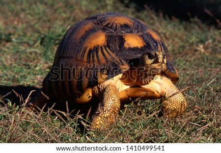 Radiated Tortoise endemic of Madagascar