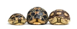 Radiated tortoise, Leopard tortoise and African spurred tortoise in front of white background