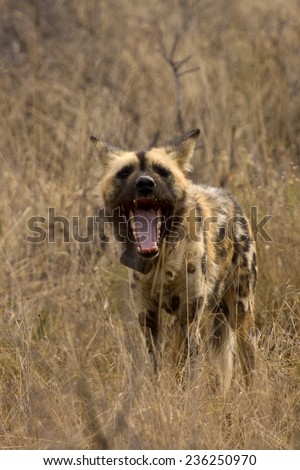 Radio collared African Wild Dog with mouth open, Okonjima, Namibia