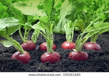 radish growing in the garden - stock photo