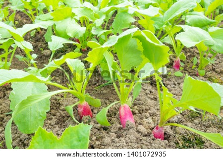 Radish grows in the ground, almost ripe. Macro photography on the theme of vegetable growing, eco-foods, vegetable growing, healthy nutrition. Vegan concept. #1401072935