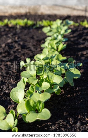 Radish sprouts grow in garden in spring. Vegetables growing in rows. Community garden in the local park. Cultivating food at a farm or backyard. Stock photo ©