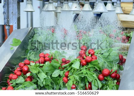 Radishes being washed on conveyor belt on industrial washing line #516650629