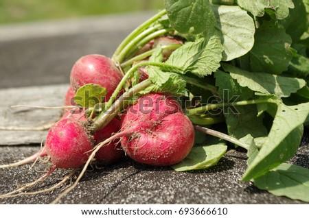 radishes crop #693666610