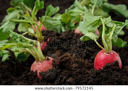 Radishes in the field