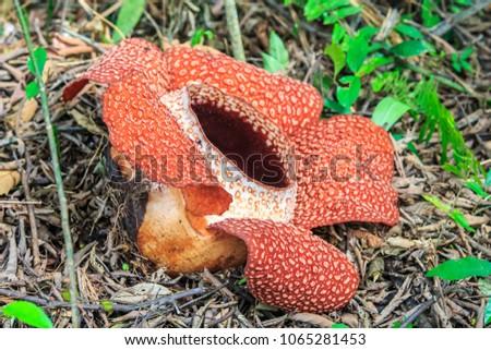 Rafflesia, the biggest flower in the world , Ranau Sabah, Borneo #1065281453