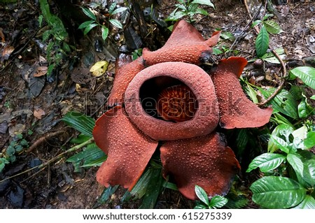rafflesia - the world's largest flower. rare beautiful red flower in the jungle. #615275339