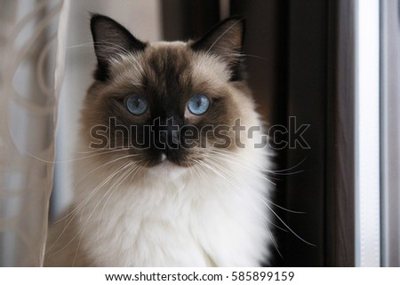 Rag Doll cat with blue eyes and long whiskers at home. Portrait with a serious face.