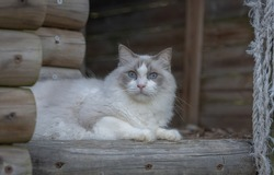 Ragdol white fluffy cat playing outside with a piece of rope