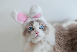 Ragdoll cat blue eyes wear pink rabbit ear hat.