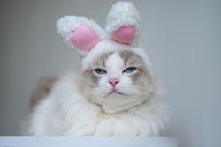 Ragdoll cat blue eyes wear pink rabbit ear hat, sad face