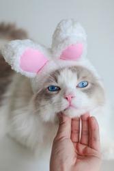 Ragdoll cat blue eyes wear pink rabbit ear hat, sleepy face