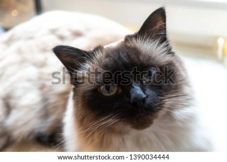 Ragdoll cat, close up on face #1390034444
