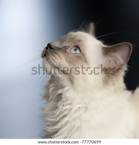 Ragdoll cat looking up with a blue background