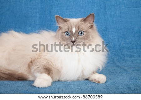 Ragdoll cat on blue background