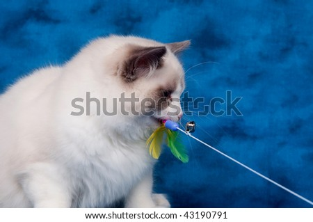 Ragdoll cat playing with feather toy on blue background