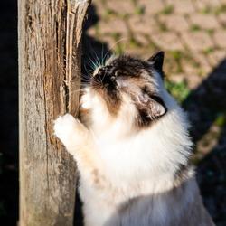 Ragdoll cat scratching pole in garden