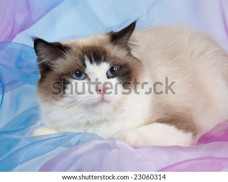 Ragdoll cat seal bi-color on pink and blue backdrop