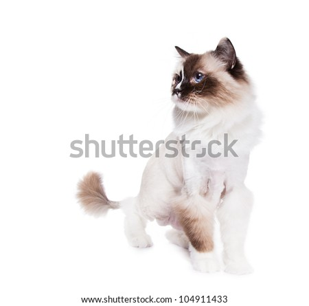 Ragdoll cat shaved with a lion style haircut on White - stock photo