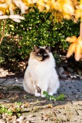 Ragdoll cat sitting in garden