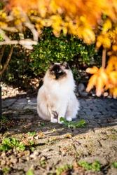 Ragdoll cat sitting in garden looking aside