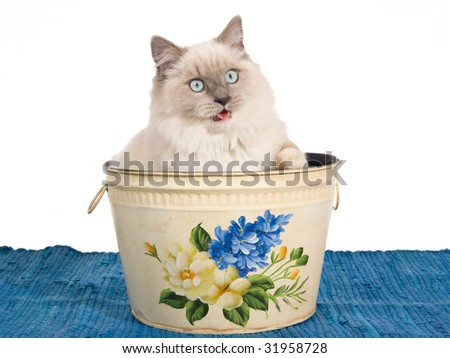 Ragdoll cat sitting inside floral paper bin on white background