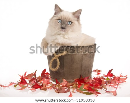 Ragdoll cat sitting in...