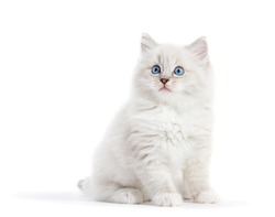 Ragdoll cat, small white kitten portrait isolated on white background. Pedigree pet