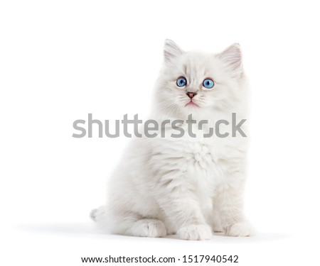 Ragdoll cat, small white kitten portrait isolated on white background. Pedigree pet