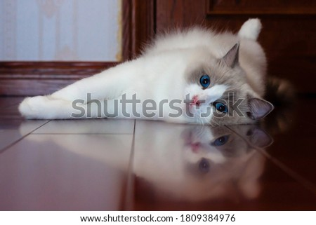Ragdoll cat with blue eyes and unique color point coat,2 years old Foto stock ©