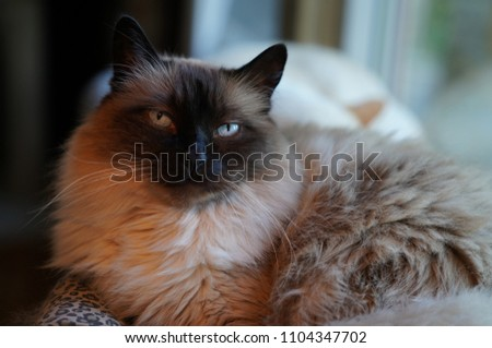Ragdoll housecat sitting in window, regarding viewer, regal #1104347702