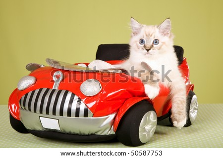Ragdoll kitten in red toy car, on green background