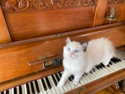 Ragdoll kitten on antique piano