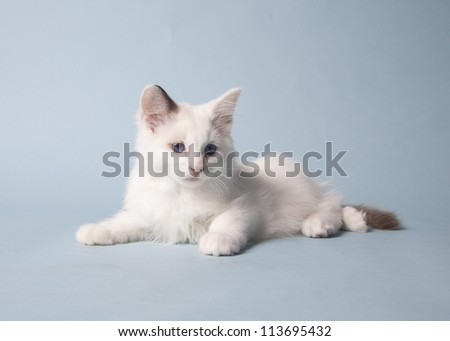 Ragdoll kitten on colored background