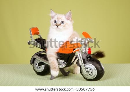 Ragdoll kitten on orange toy bike, on green background