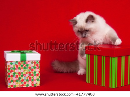 Ragdoll kitten sitting among presents on red cloth background.