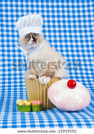 Ragdoll kitten wearing chef outfit sitting in cupcake jar
