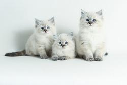 ragdoll kitten White background. 8 weeks.