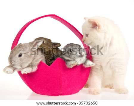 Ragdoll kitten with 3 bunnies in pink easter basket on white background