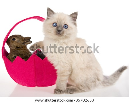 Ragdoll kitten with bunnies in pink easter basket on white background