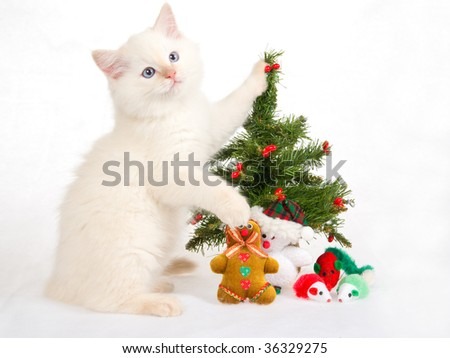 Ragdoll kitten with christmas tree and toys, on white fake snow fabric background