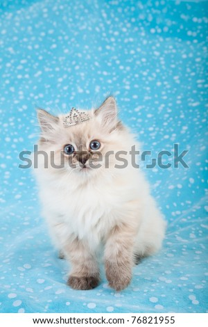 Ragdoll kitten with tiara crown on blue background